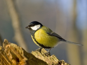 Another great tit