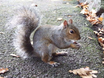 A grey squirrel, Sciurus carolinensis
