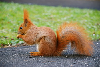 A red squirrel, Sciurus vulgaris