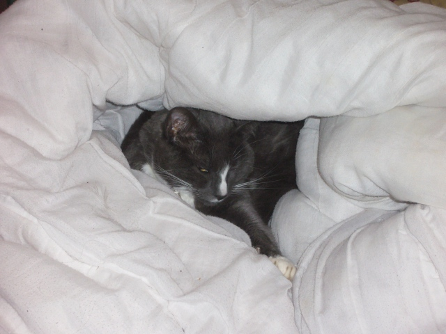 cat in a duvet